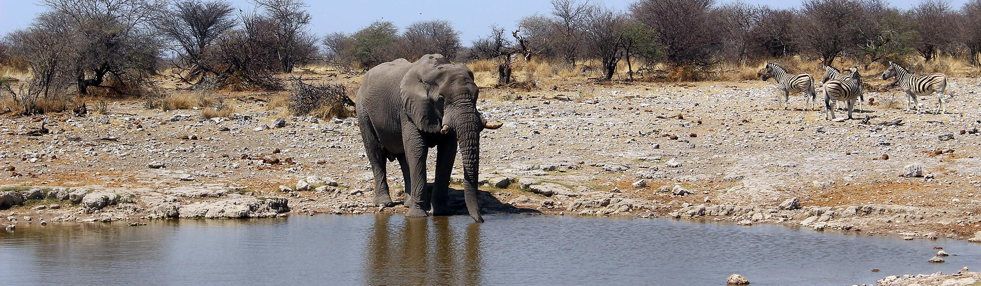 Elephant at water hole, Namibia